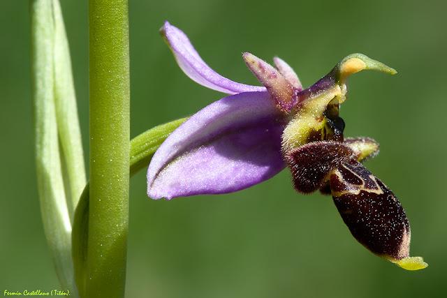 Orquídea silvestre (Ophrys scolopax)