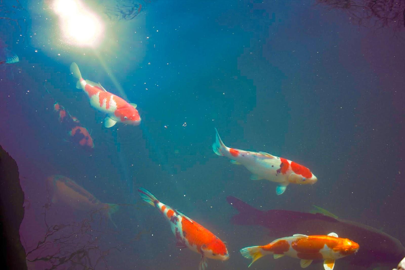 Carpas coloridas a nadar com o reflexo do sol ilustra este post sobre o Shijing, o Livro das Canções.