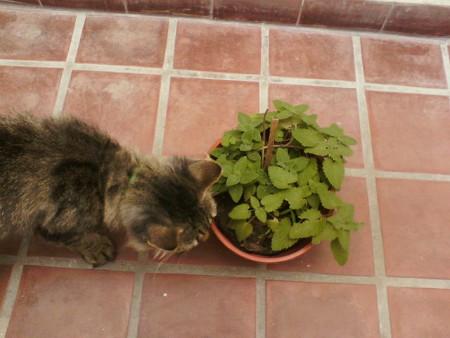 Gato con la hierba gatera