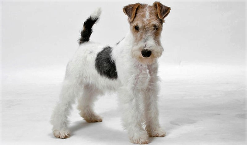Φοξ Τερριέ-Fox terrier