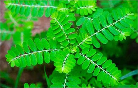 phyllanthus niruri, bhumi amla, bhumiamla, bhumyamalaki