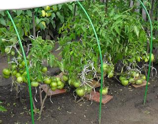 Детерминантные помидоры, 28 июля