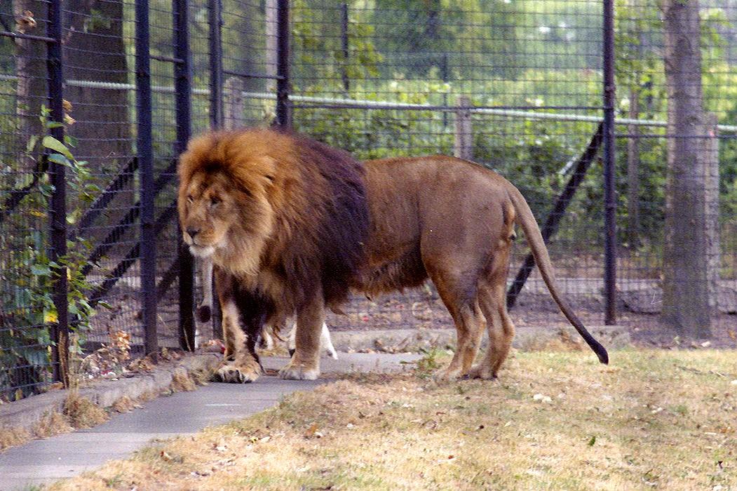 http://3.bp.blogspot.com/-gMDQK88pQP8/UZvm4JpS6XI/AAAAAAAAHgM/tDfBlXvEW9w/s1600/Ranger+partially+black+lion,+increased+contrast,+Peter+Adamson.jpg