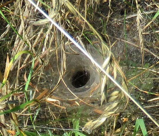 Pajęczyna lejkowca labiryntowego (Agelena labyrinthica).