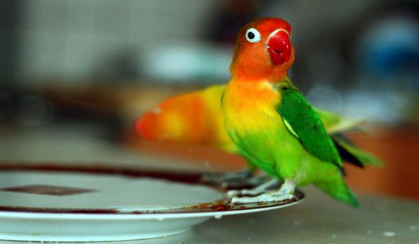menjinakkan lovebird giras