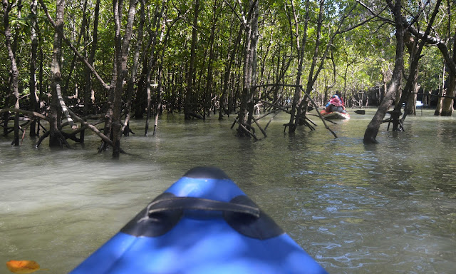 canoeing through mangroves