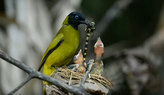 Sarang Burung Cucak Kurincang Di Alam Liar