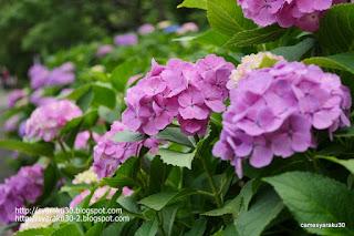 咲き誇る紫のアジサイ写真