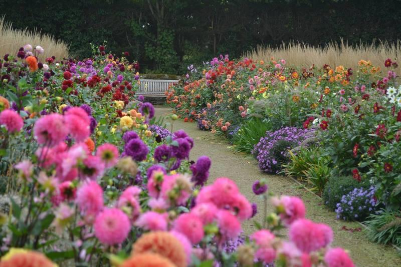 flores de dalias (Dahlia) en bordura inglesa