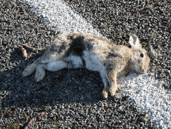 roadkill rabbit in the road, right on top of the white stripe