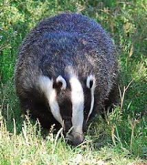 UK badger