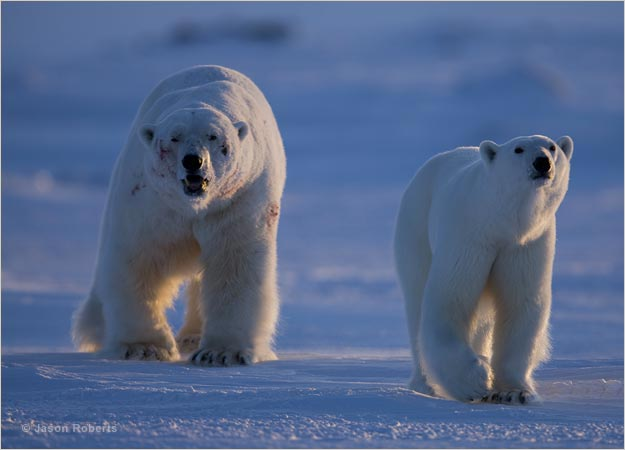 polar bear couple - photo #9