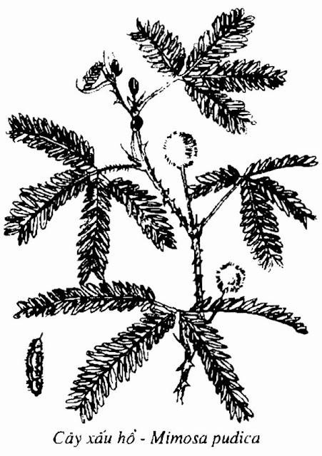 Hình vẽ CÂY XẤU HỔ - Mimosa pudica - Nguyên liệu làm Thuốc Ngủ, An Thần, Trấn Kinh