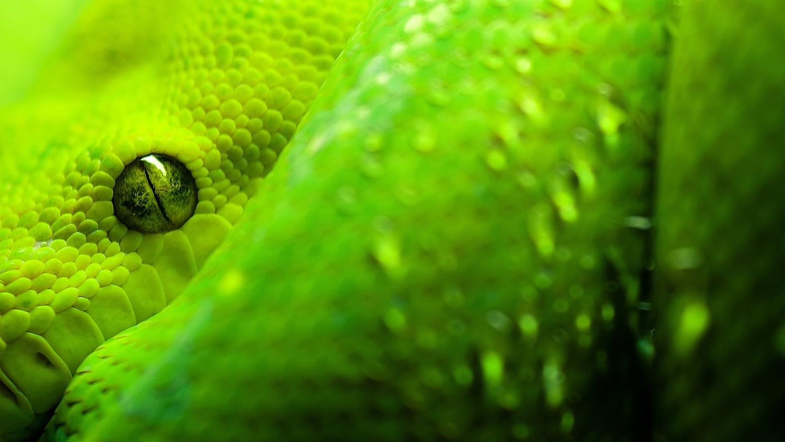 Snakes hd wallpapers wallpaper202 - Green snake hd wallpaper ...
