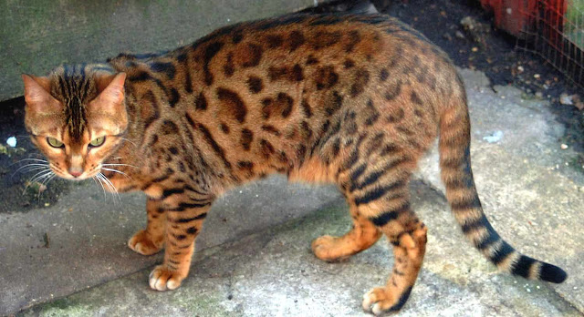 Bengal Cats | Cute CatsOrange And White Bengal Cat