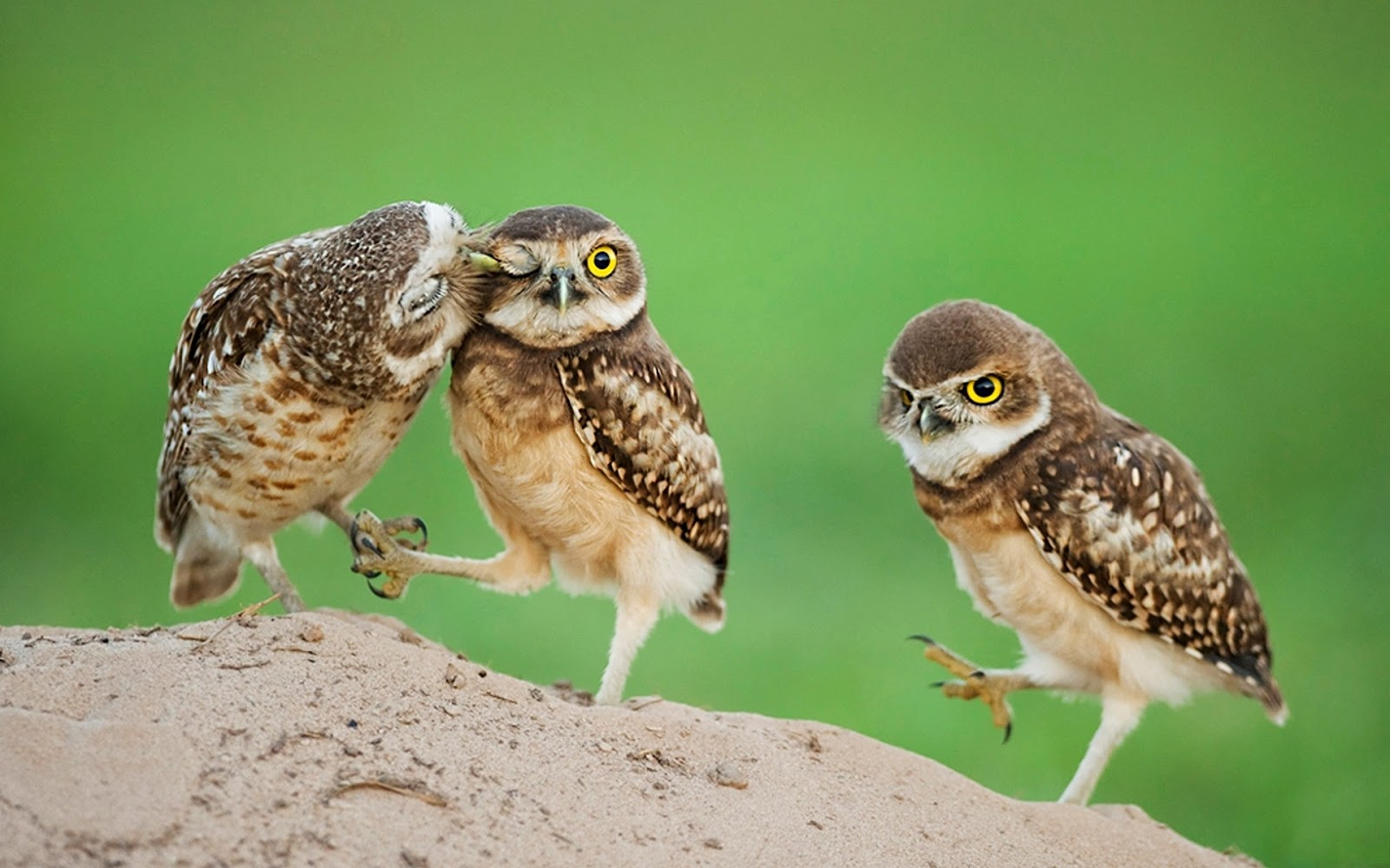 Owl Baby Birds Showing Love With Each Other Very Lovely