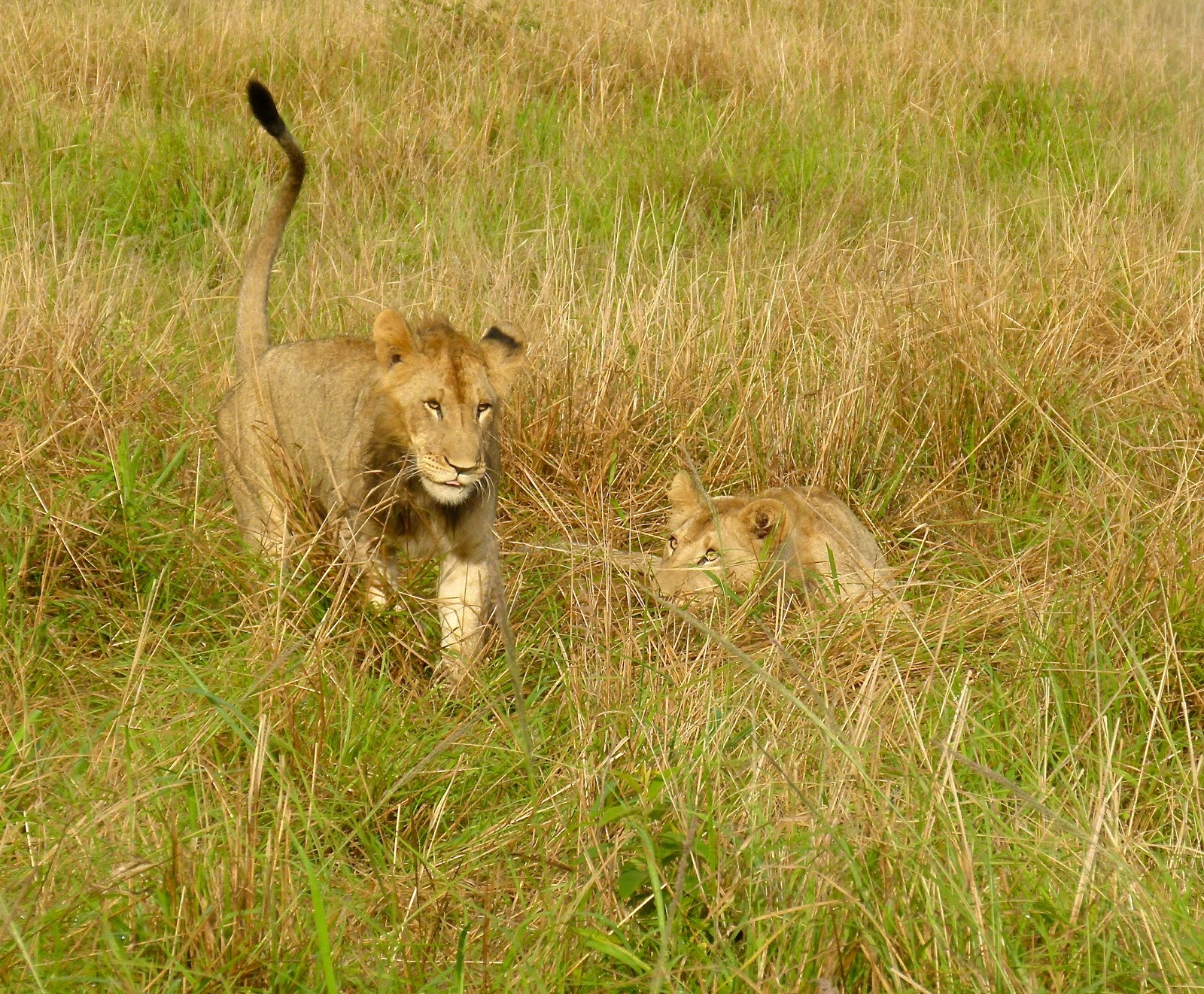 It doesn't matter what's in front of her as long as he is ...  Man Eaten By Lion In Front Of Family