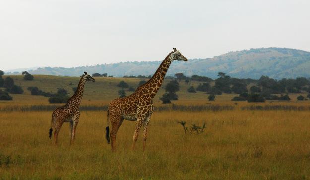 África para principiantes: el Parque Akagera de Ruanda Frica_para_principia_46831054