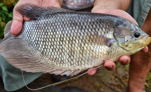 Panen Ikan Gurame - Budidaya Ikan