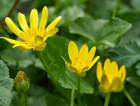 Celidonia menor (Ranunculus ficaria) flor amarilla