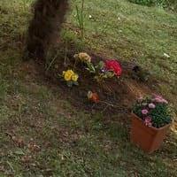 coltivare fiori nell'orto: primule e garofano