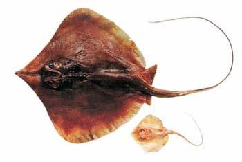 Lẩu Cá Đuối