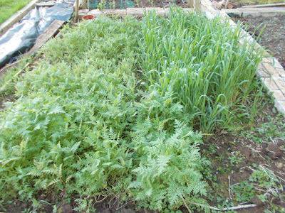 Green manure growing 80 Minute Allotment Green Fingered Blog