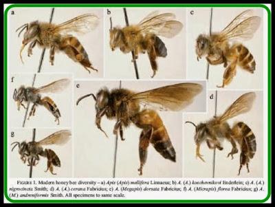 jenis jenis lebah penghasil madu