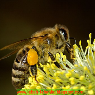 Bunga tanaman sumber nektar pollen pakan lebah madu