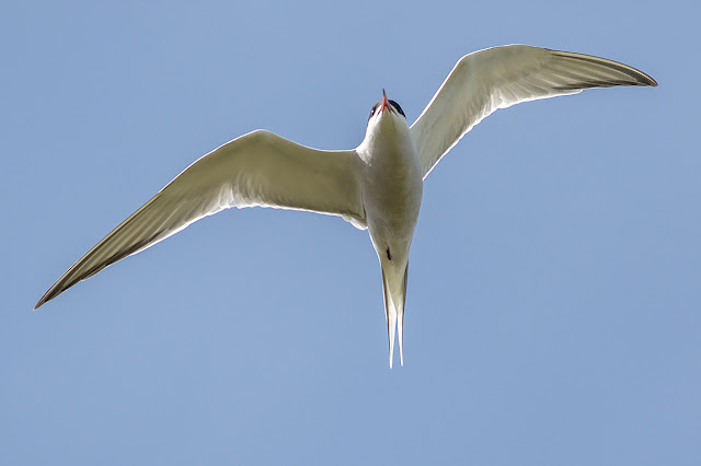 Common Tern from underneath