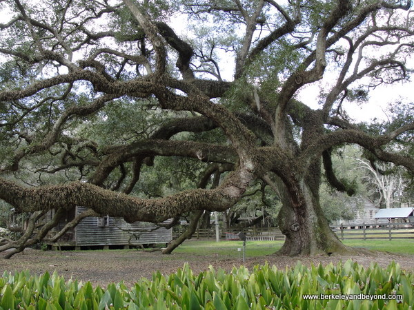 240-year-old live oak tree at Destrehan Plantation in Destrehan, Louisiana