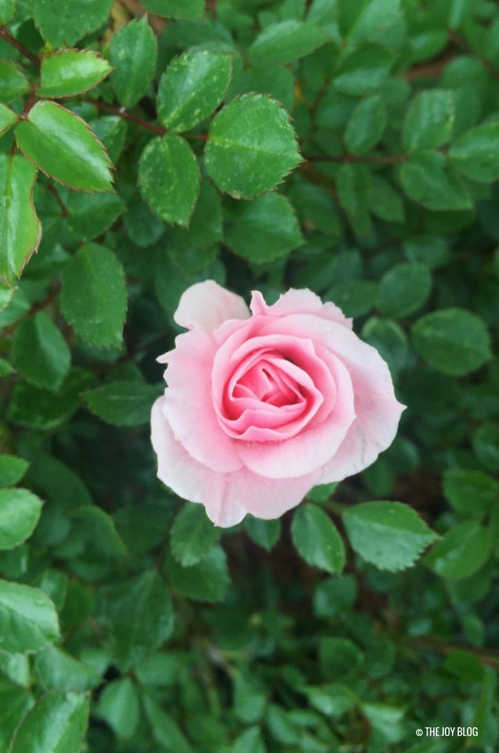 Pink rose bloom / www.thejoyblog.net