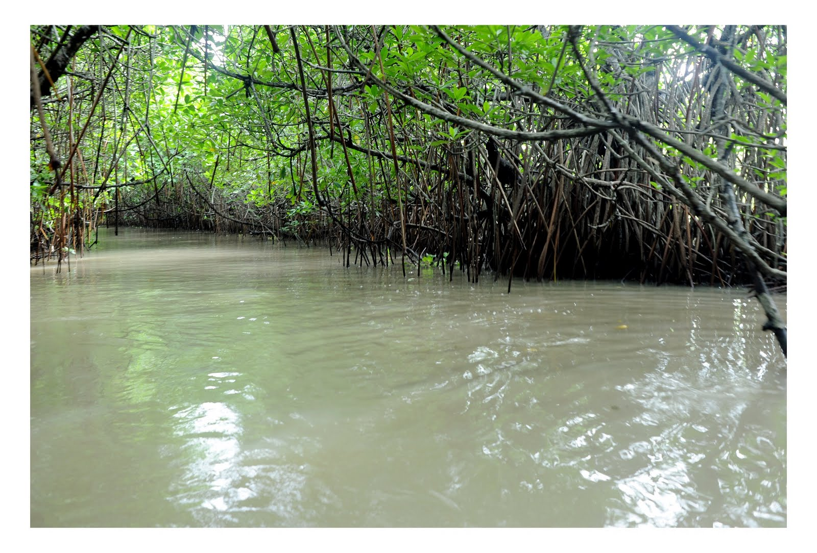 """contribution of mangrove forest reserved for Bangkok airways organizes csr activity """"mangrove conservation and restoration with beach and mangrove forest a valuable contribution to."""