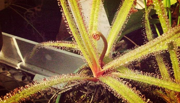 Plantas come insectos