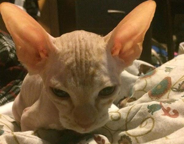 Paga más de 400 mil pesos por gato esfinge y fue una estafa