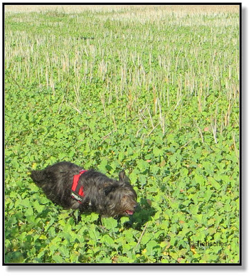 Hund rennt übers Feld