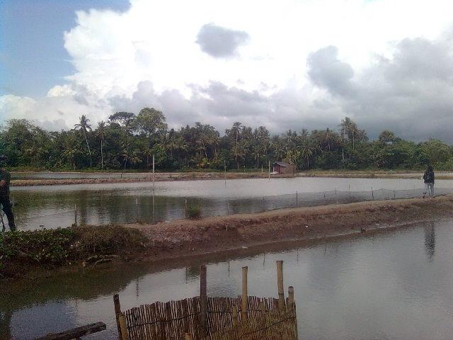 Budidaya Ikan Nila di Tambak