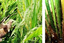 Cara akurat membasmi hama-hama padi