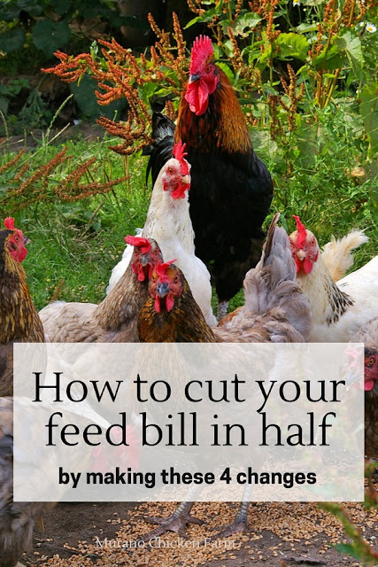 Chickens, saving money on their feed