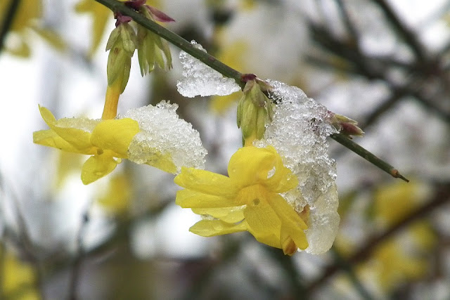 Snow on Winter Jasmine yellow flowering climber Jasminum nudiflorum-life between the flowers