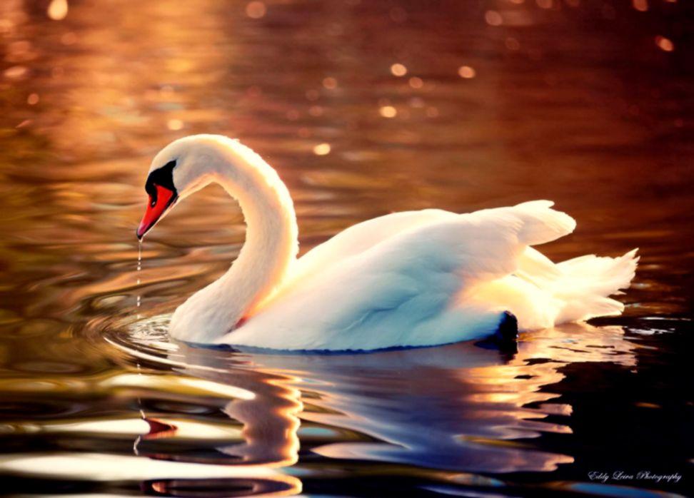 Swans Birds Hd Wallpaper | Free HD Wallpapers