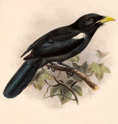 Yellow billed Nunbird
