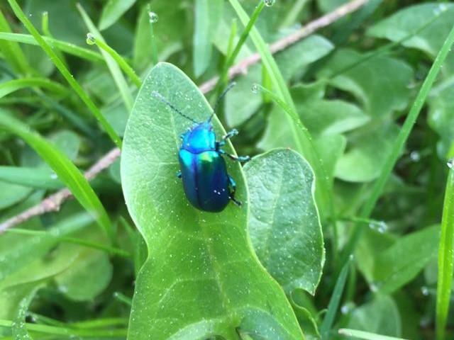 blau-grüner Käfer