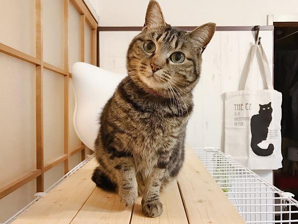 キョトンとした顔のキジトラ猫