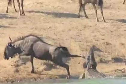 Kuda Nil Selamatkan Wildebeest yang Hendak Dimakan Buaya