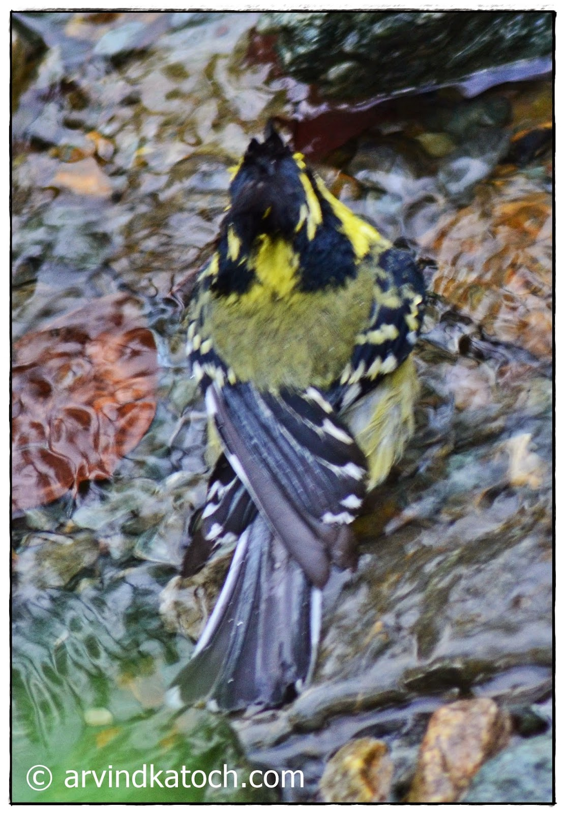 Himalayan black-lored tit, water