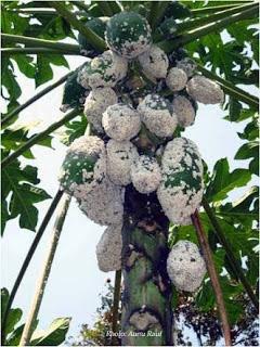 Cara membasmi kutu putih pada tanaman pepaya
