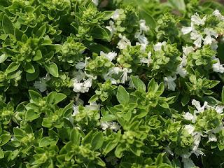 Ocimum basilicum 'Boxwood'