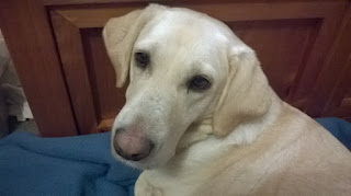 Golden Labrador dog, lying down, looking over her shoulder at the camera