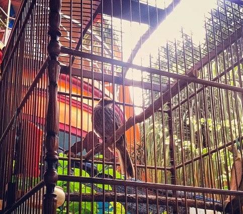 Burung cucak rowo merupakan burung dari jenis petarung yang rajin berkicau serta ropel Ciri-ciri Cucak Rowo yang Punya Masa Depan Bagus